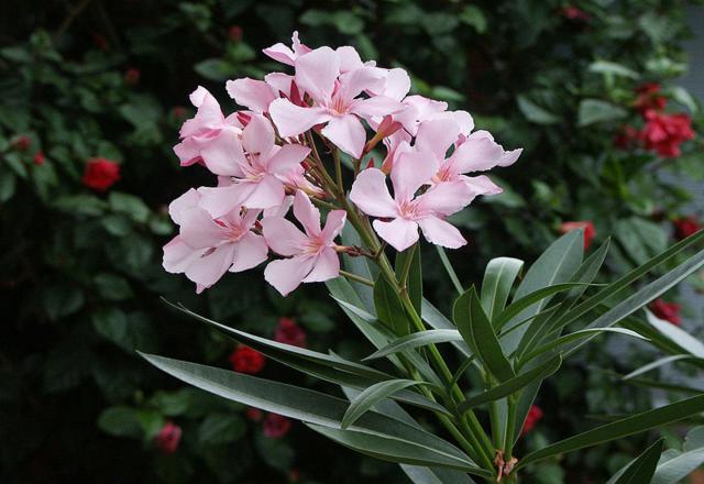 20120109-nerium_oleander.jpg